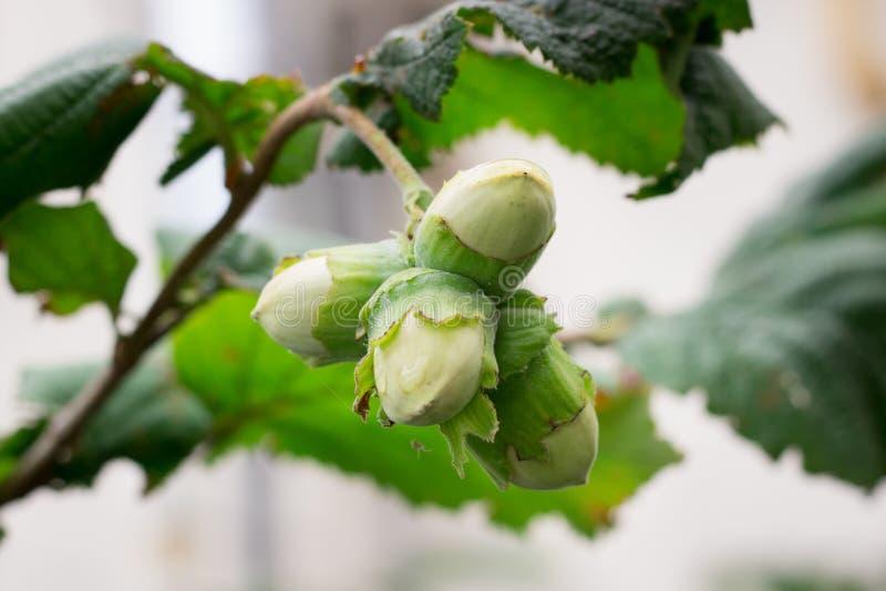 Plan rapproché de groupe de ressort de noisettes d'aveline parmi des feuilles d'arbre de buisson photographie stock
