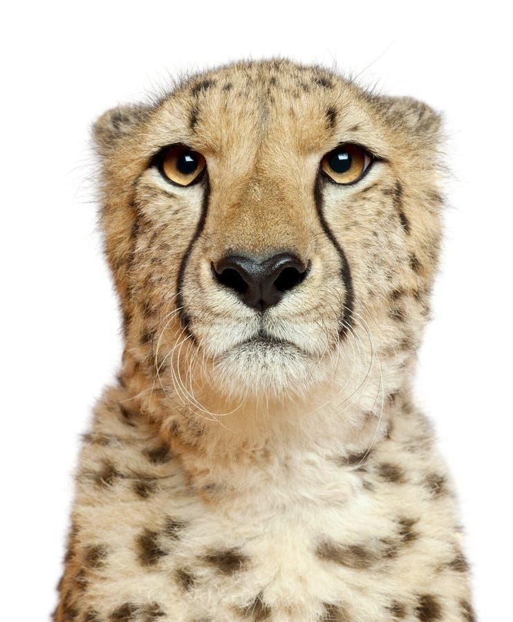 Plan rapproché de guépard, jubatus d'Acinonyx, 18 mois photographie stock