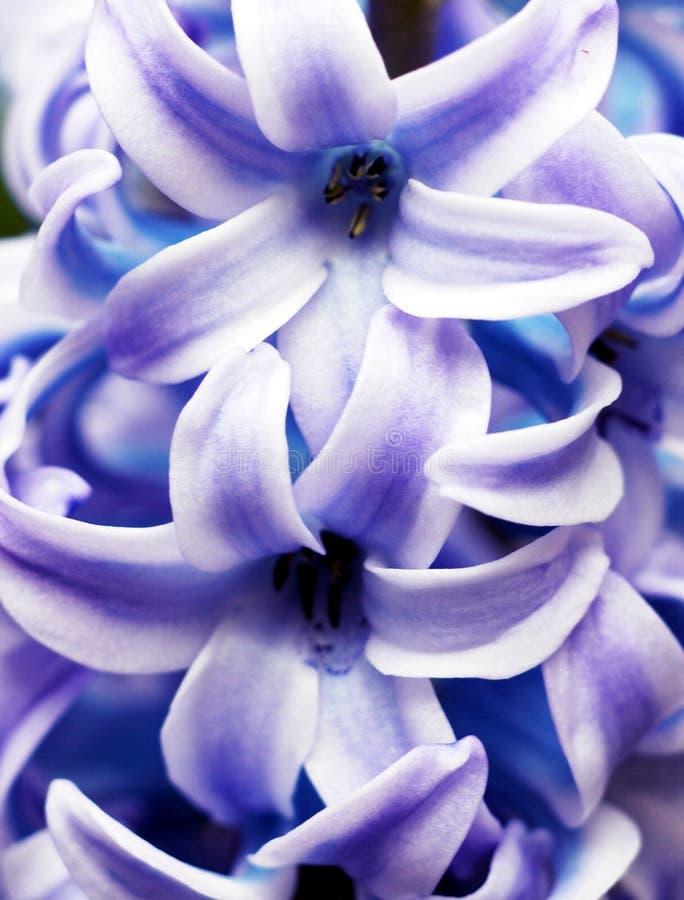 Plan rapproché de jacinthe photos stock