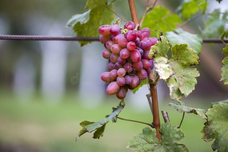 Plan rapproché de jeune cep de vigne avec les feuilles vertes et le groupe mûr rose lumineux de raisin allumés par le soleil sur  photographie stock libre de droits