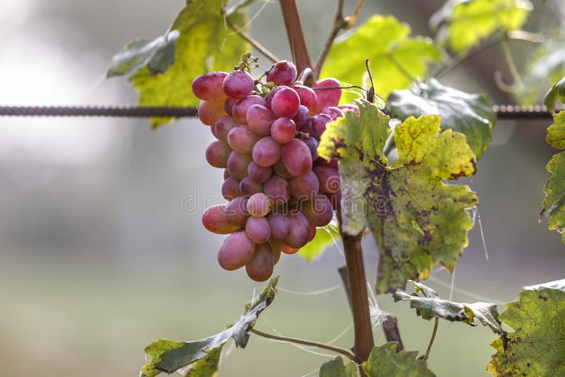 Plan rapproché de jeune cep de vigne avec les feuilles vertes et le groupe mûr rose lumineux de raisin allumés par le soleil sur  photo libre de droits