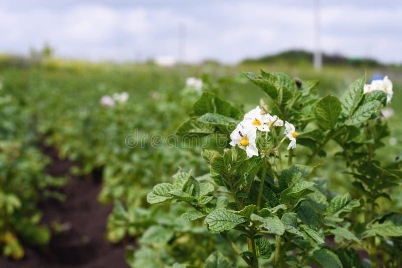 Plan rapproché de jeunes pommes de terre de floraison sur la plantation dans le jardin, l'effet de la perspective image libre de droits