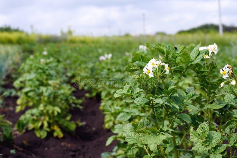 Plan rapproché de jeunes pommes de terre de floraison sur la plantation dans le jardin, l'effet de la perspective image stock