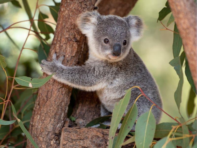 Plan rapproché de joey de koala photo stock