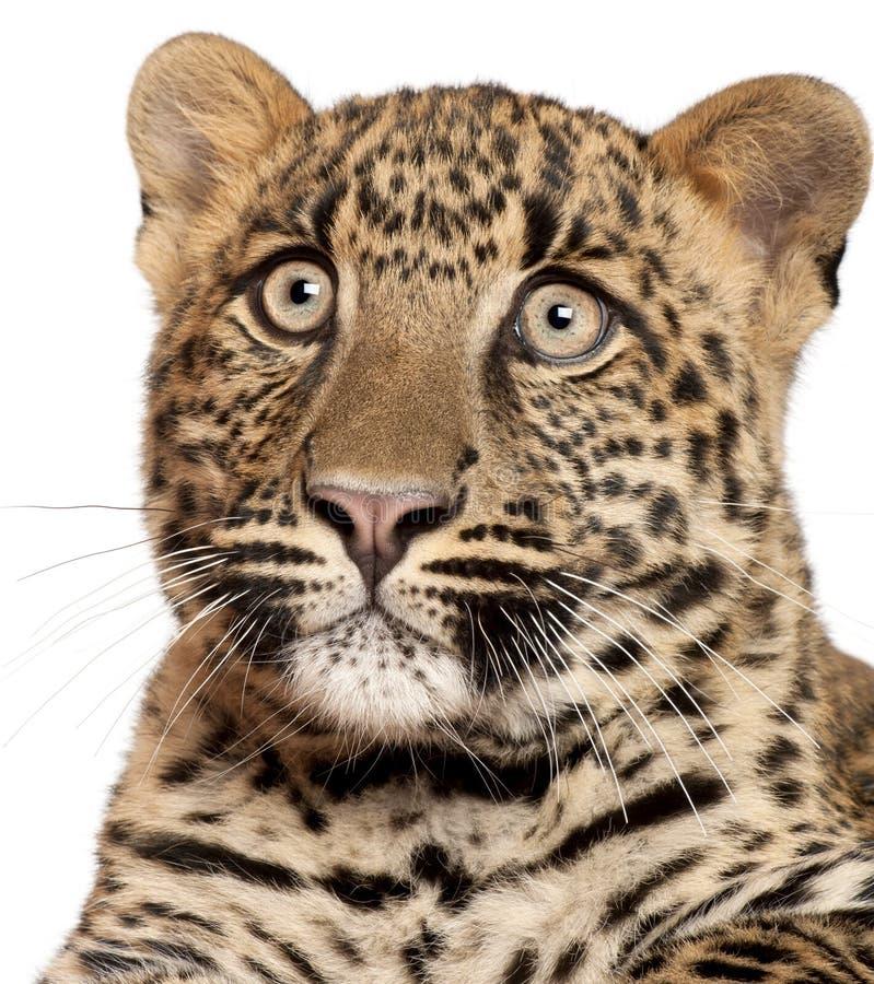 Plan rapproché de léopard, pardus de Panthera, 6 mois images libres de droits