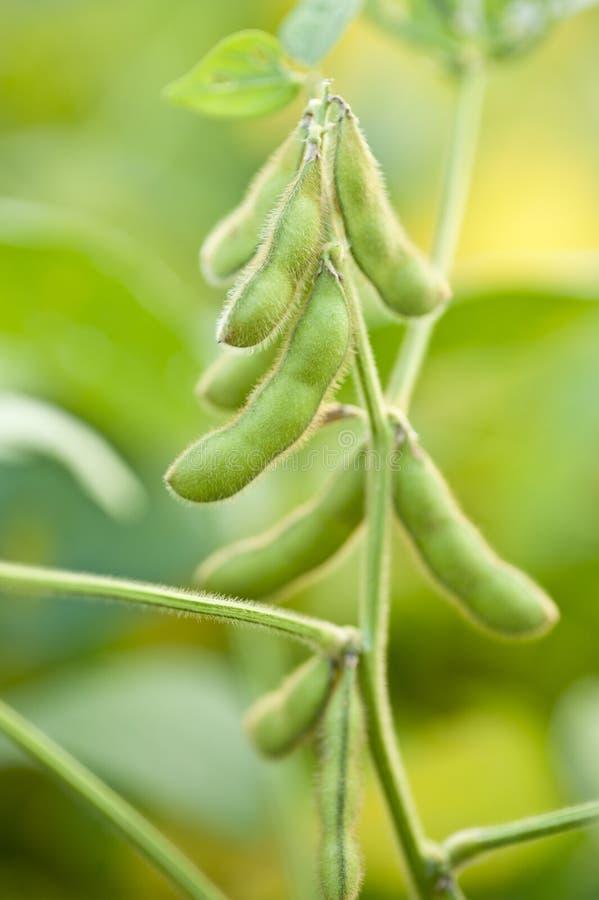 Plan rapproché de l'élevage de soja image stock