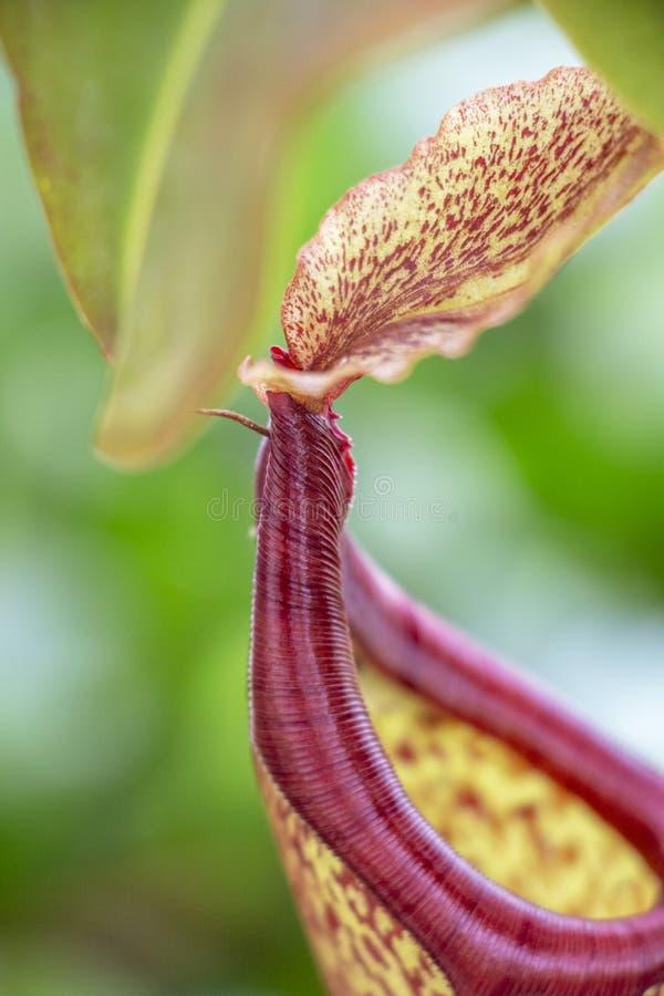 Plan rapproché de l'usine de Nepenthes d'usine carnivore ou de broc tropical, détail images stock