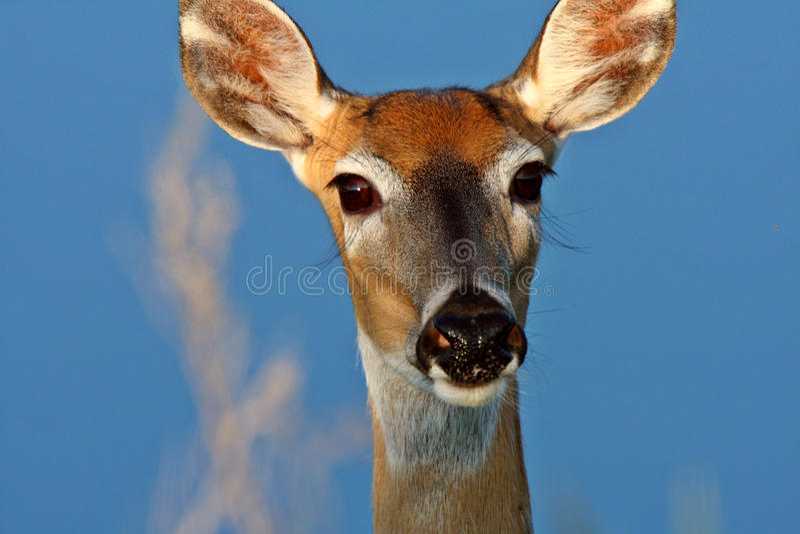 Plan rapproché de la daine suivie blanche de cerfs communs photo stock