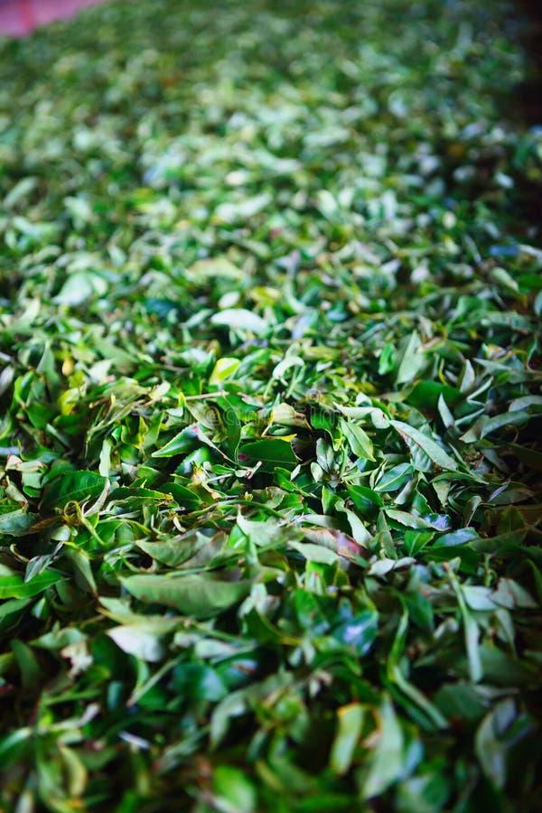 Plan rapproché de la fermentation des feuilles de thé, processus de séchage dans une usine dans Sri Lanka photos stock
