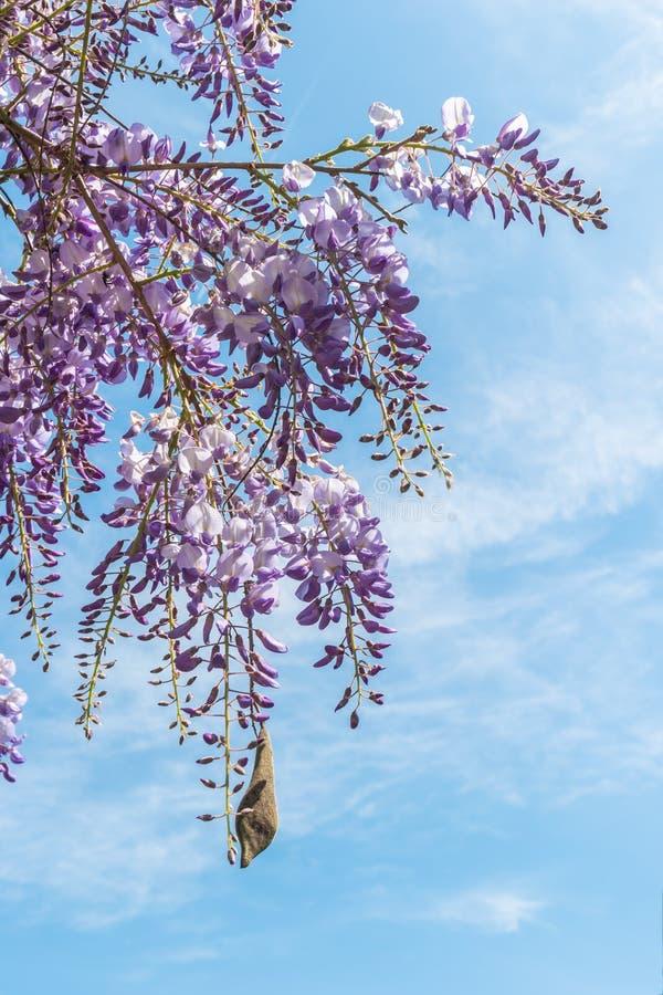 Plan rapproché de la fleur pourpre de pétale de glycine fleurissant dans un printemps images stock