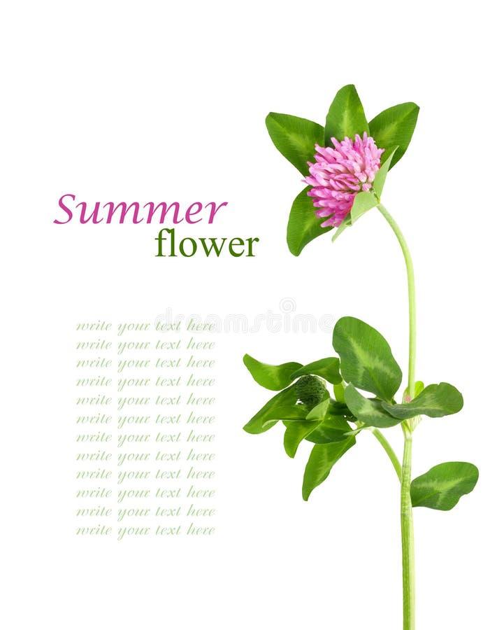 Plan rapproché de la fleur rose de trèfle d'isolement photo stock