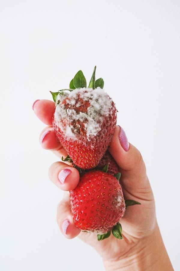 Plan rapproché de la fraise putréfiée dans la main femelle d'isolement sur le fond blanc photographie stock libre de droits