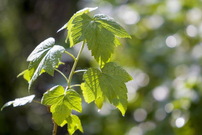 Plan rapproché de la pousse croissante de groseille avec de belles feuilles brillantes fraîches lumineuses rougeoyant à la lumièr photo libre de droits