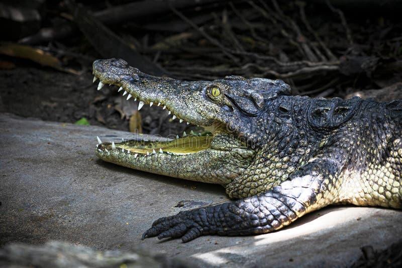 Plan rapproché de la tête de crocodile asiatique photographie stock libre de droits