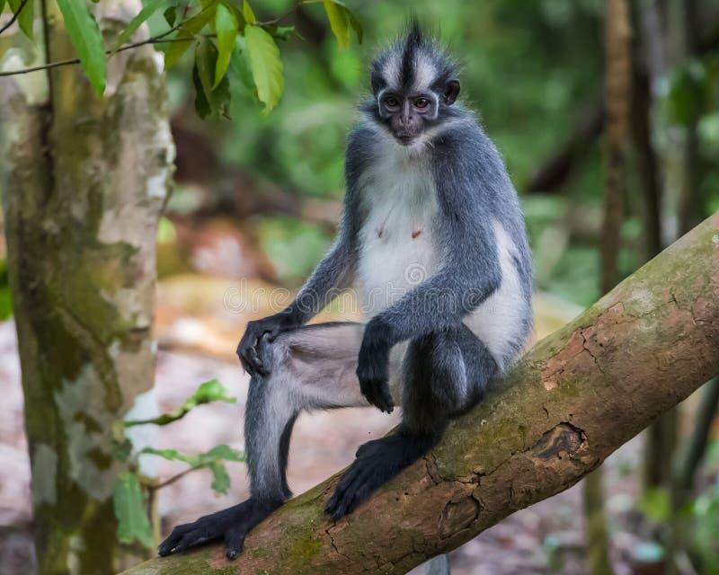 Plan rapproché de langurs de Thomas se reposant sur une branche avec sa queue accrochant en bas de Bohorok, Indonésie images stock