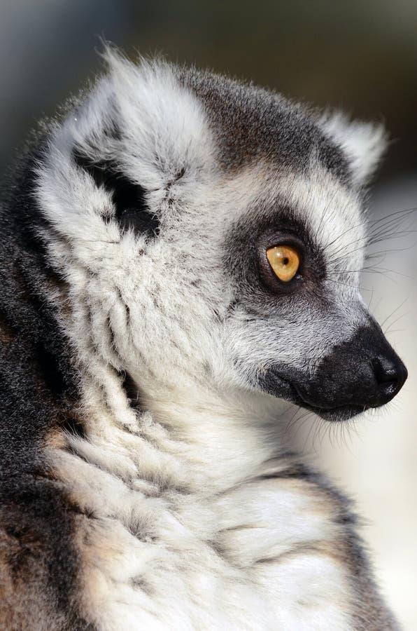 Plan rapproché de Lemur Ring-Tailed photo libre de droits