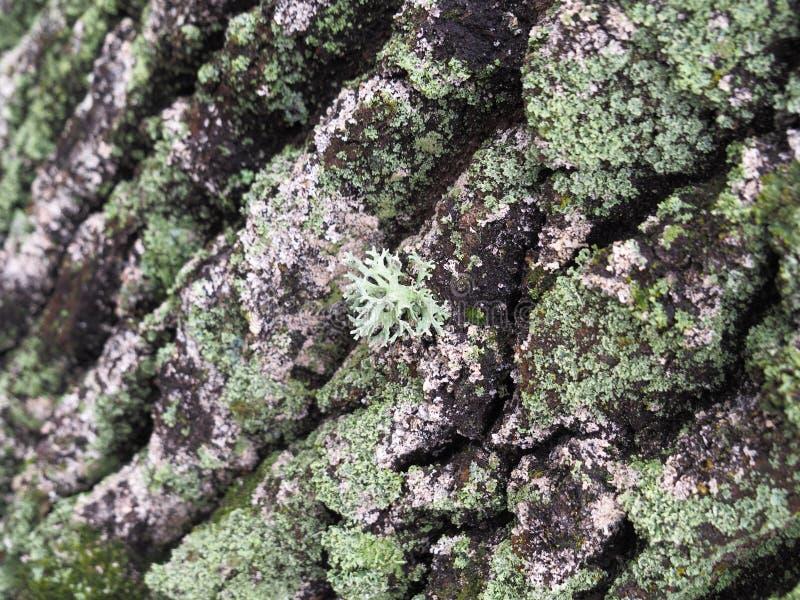 Plan rapproché de lichen cyan photos libres de droits