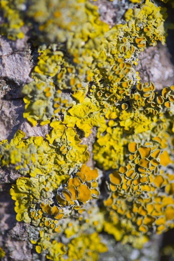 Plan rapproché de lichens d'arbre photo libre de droits