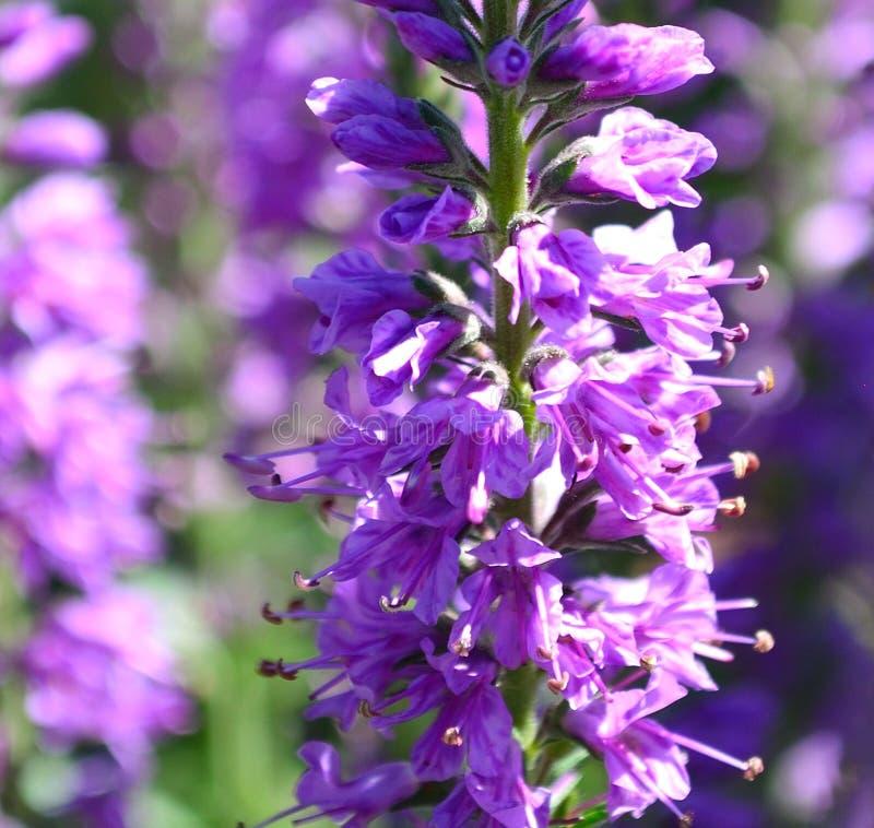 Plan rapproché de longifolia de Veronica photographie stock