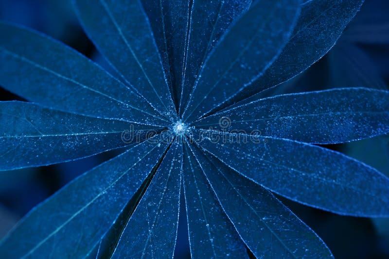 Plan rapproché de loup de belle feuille au néon bleue Texture et fond floraux Feuillage bleu rougeoyant du lupin Image cr?atrice images libres de droits