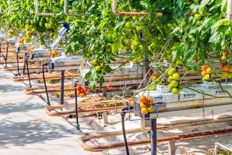 Plan rapproché de mûrir les tomates hydroponique cultivées photographie stock