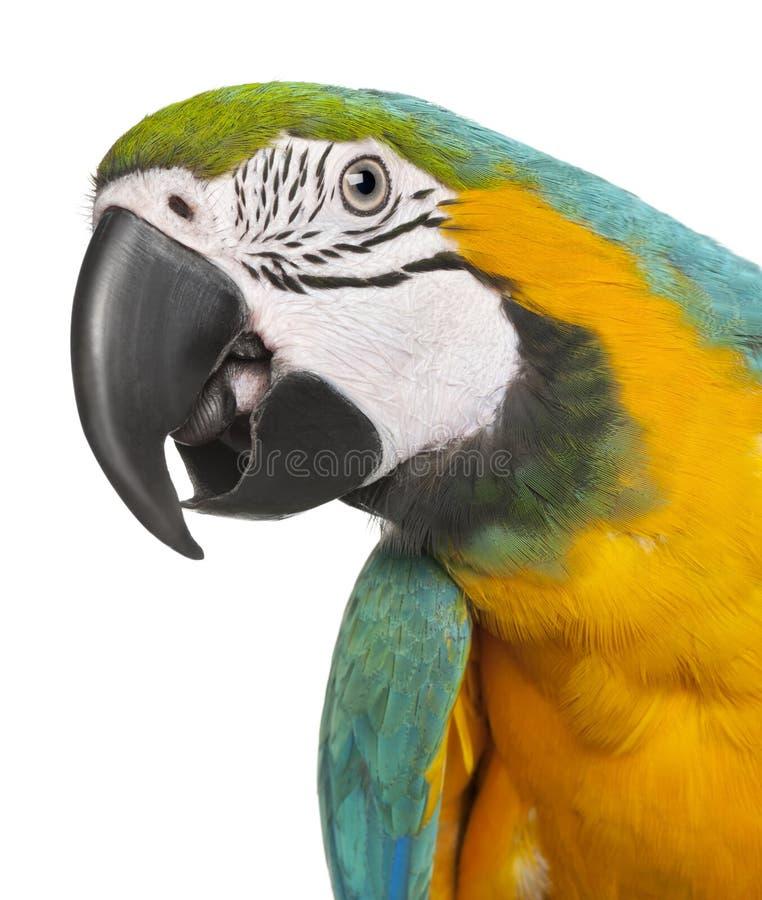 Plan rapproché de Macaw Bleu-et-Jaune, ararauna d'Ara image libre de droits