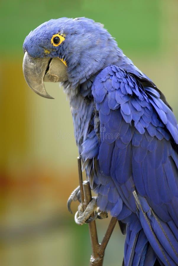 Plan rapproché de macaw de jacinthe photographie stock