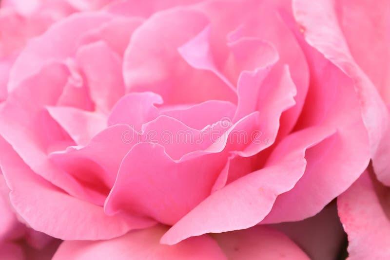 Plan rapproché de macro de rose de rose photos stock