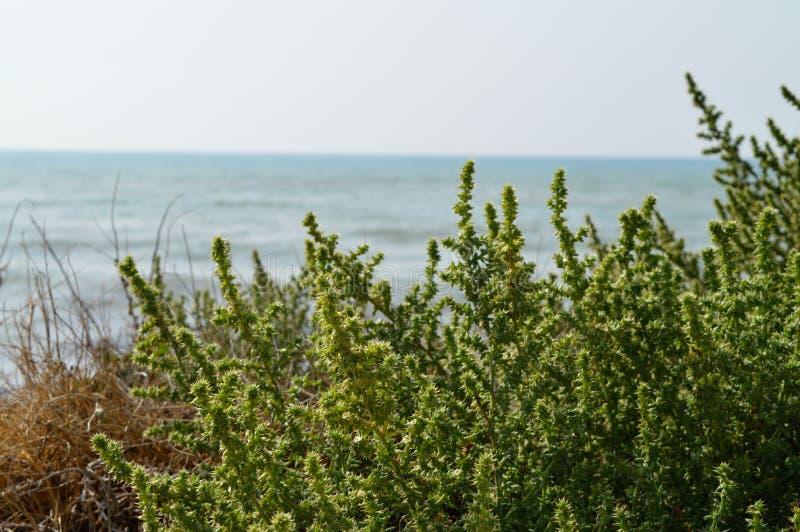 Plan rapproché de Maquis Shrubland et la mer Méditerranée à l'arrière-plan, Sicile, Italie, l'Europe image libre de droits