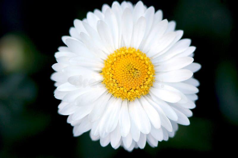 Plan rapproché de marguerite de jardin images libres de droits