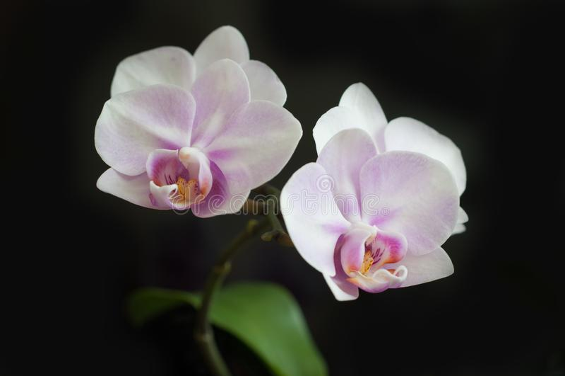 Plan rapproché de Miki Sakura de Phalaenopsis d'orchidée de fleurs sur le fond foncé photographie stock
