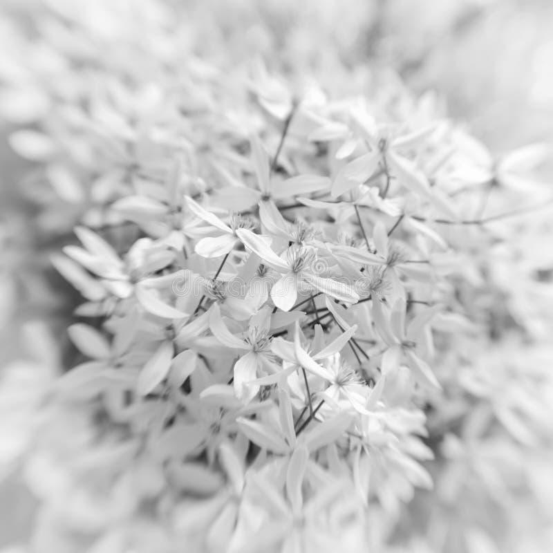 Plan rapproché de monochrome de fleurs blanches image libre de droits