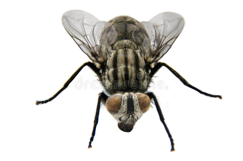 Plan rapproché de mouche images libres de droits