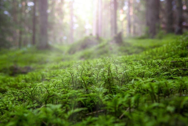Plan rapproché de mousse verte de fraîcheur dans la perspective de sunhine photos libres de droits