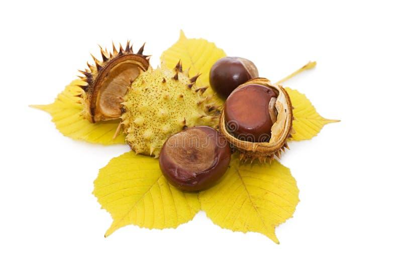 Plan rapproché de noix de châtaigne de Brown photos stock