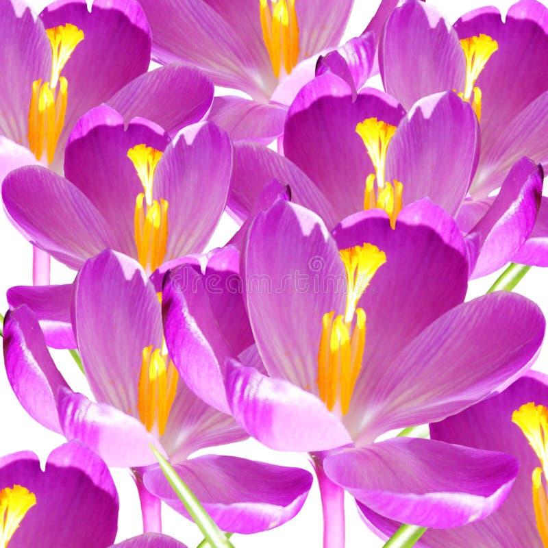 Plan rapproché de pétale de fleur de crocus photo libre de droits