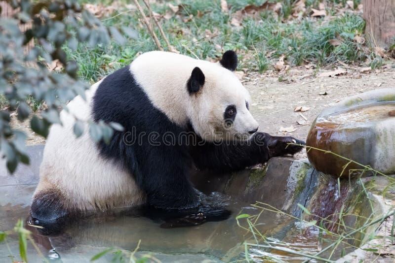Plan rapproché de panda géant image stock