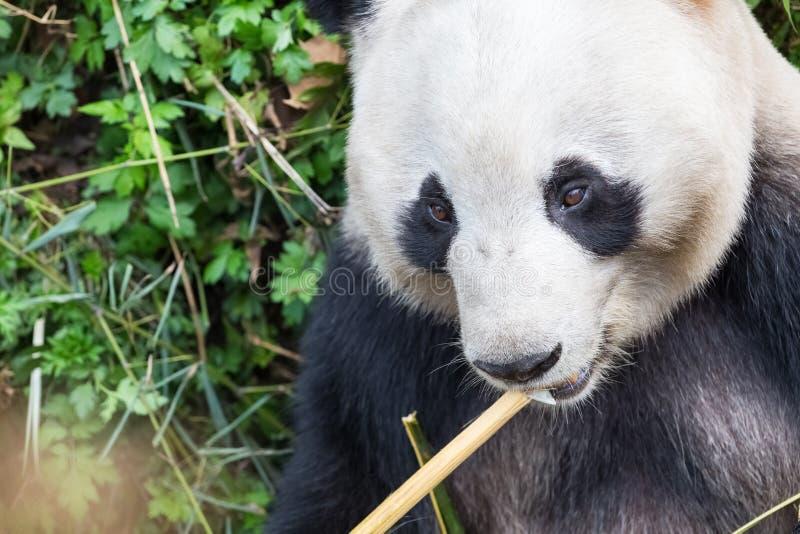 Plan rapproché de panda géant photos libres de droits