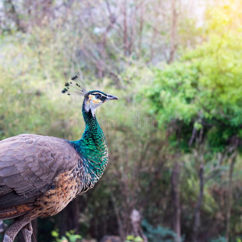 Plan rapproché de paon femelle photographie stock libre de droits