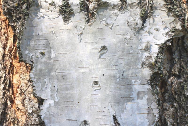 Download Plan Rapproché De Papier De Fond Naturel De Texture D'écorce De Bouleau Photo stock - Image du lumber, copie: 76081864