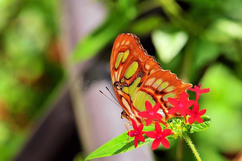 Plan rapproché de papillon de malachite (dessous) photographie stock