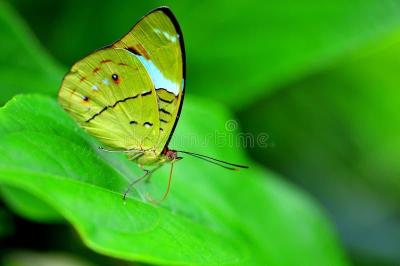 Plan rapproché de papillon (dessous) images libres de droits