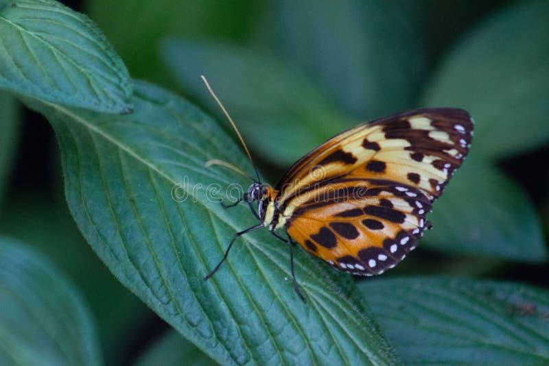 Plan rapproché de papillon de monarque avec des ailes fermées photo stock