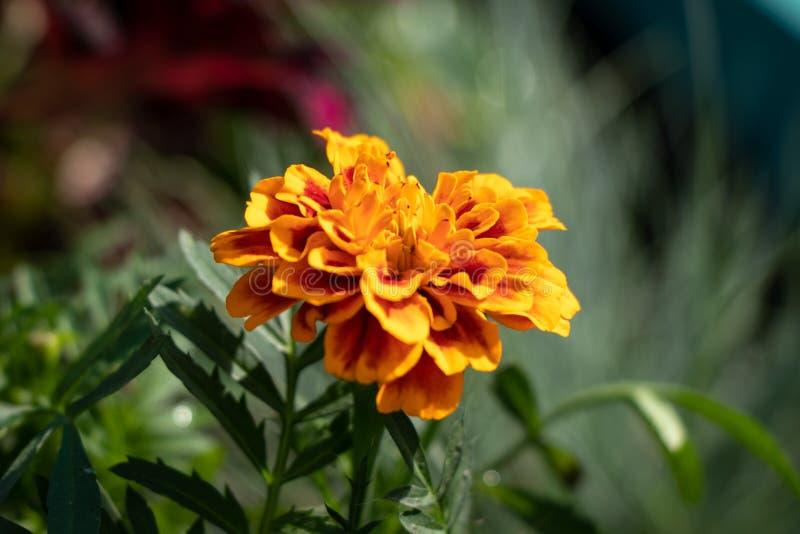 Plan rapproché de patula de Tagetes d'un rouge, fleur d'été dans le jardin photo stock