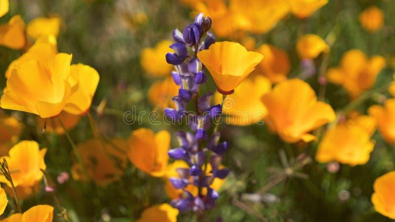 Plan rapproché de pavot et de Rocket Larkspur Lilac Spire d'or de la Californie image stock