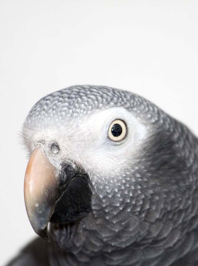 Plan rapproché de perroquet de gris africain photo stock
