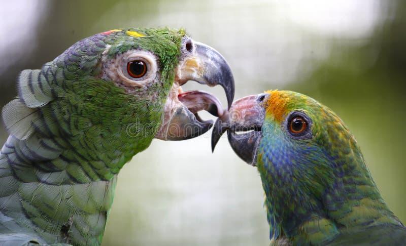 Plan rapproché de perroquet en Kuala Lumpur Bird Park, Malaisie image stock