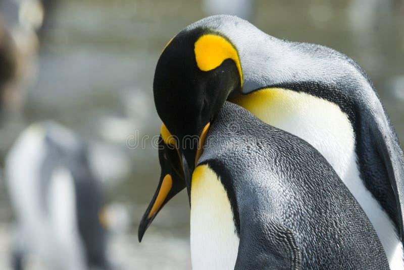 Plan rapproché de pingouin de roi regardant l'appareil-photo photographie stock libre de droits