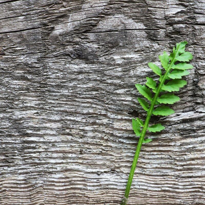 Plan rapproché de plante verte, sur le vieux fond rustique en bois gris, s image stock