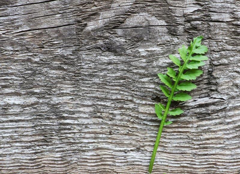 Plan rapproché de plante verte, sur le vieux fond rustique en bois gris, t photo libre de droits